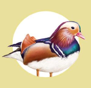 brown-duck